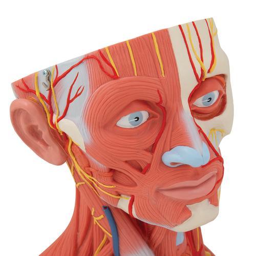 Musculatura Do Pescoço E Da Cabeça 5 Partes