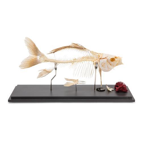 T30001: Esqueleto de peixe - carpa (Cyprinus carpio) 1