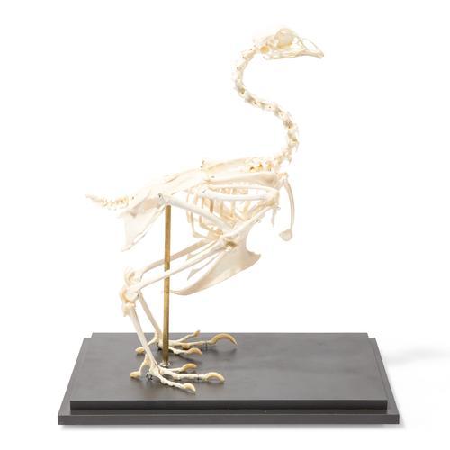 T30002: Esqueleto de galinha (Gallus gallus)