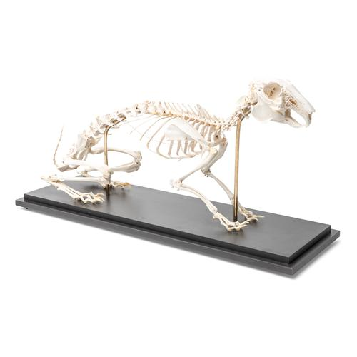 T30008: Esqueleto de lebre (Lepus europaeus)
