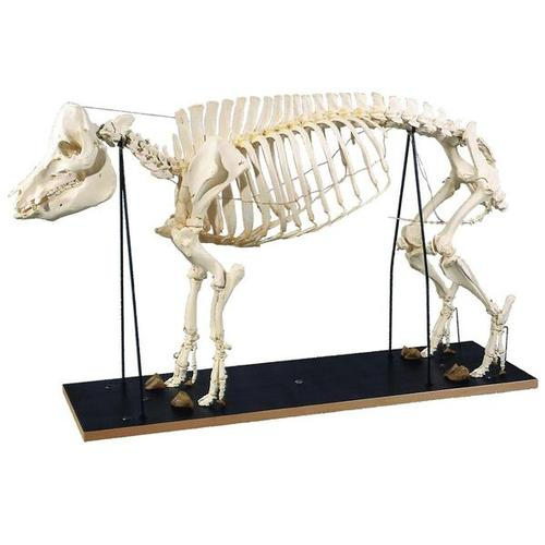 T30013: Esqueleto de porco (Sus scrofa)