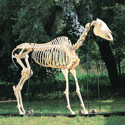 T30014: Esqueleto de cavalo (Equus caballus)