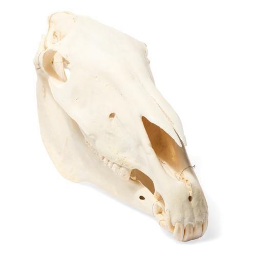 T30017: Crânio de cavalo (Equus caballus)