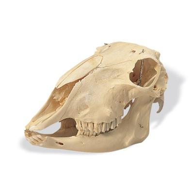 T30018: Crânio de ovelha (Ovis aries)