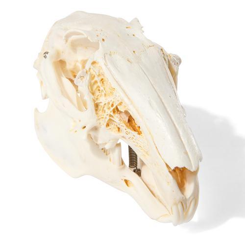 T30019: Crânio de lebre (Lepus europaeus)