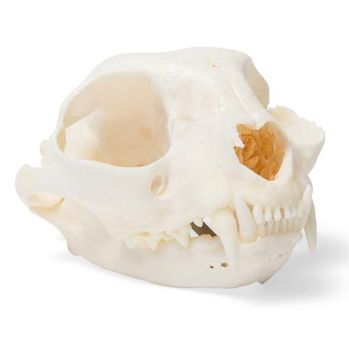 T30020: Crânio de gato (Felis catus)