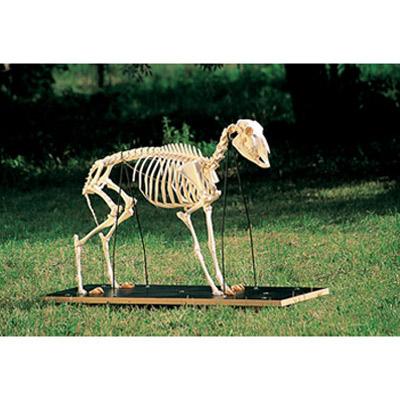 T30036: Esqueleto de ovelha (Ovis aries) 1