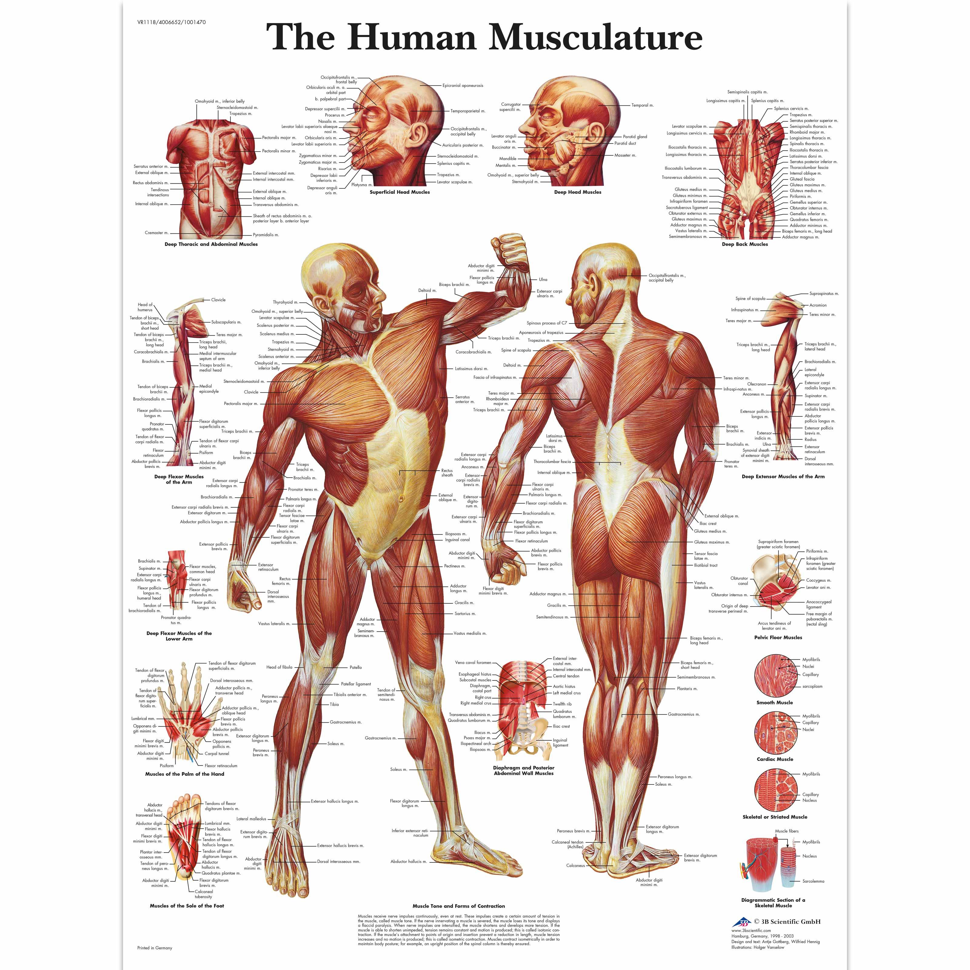 Pôster dos Músculos Humanos - 4006652 - VR1118UU - Músculo - 3B ...