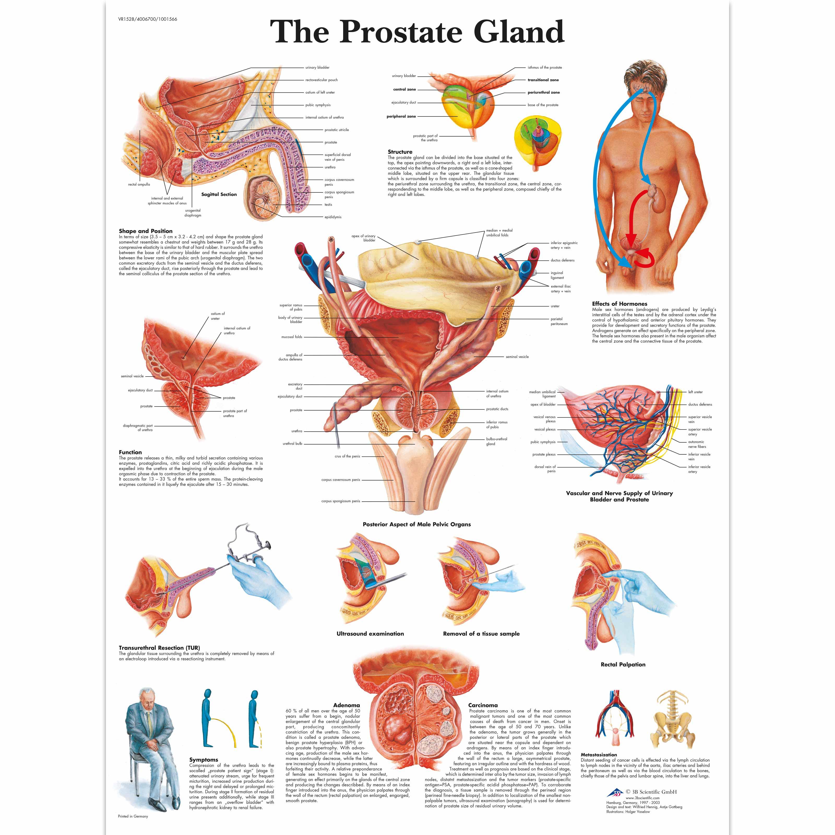 prostata apex)